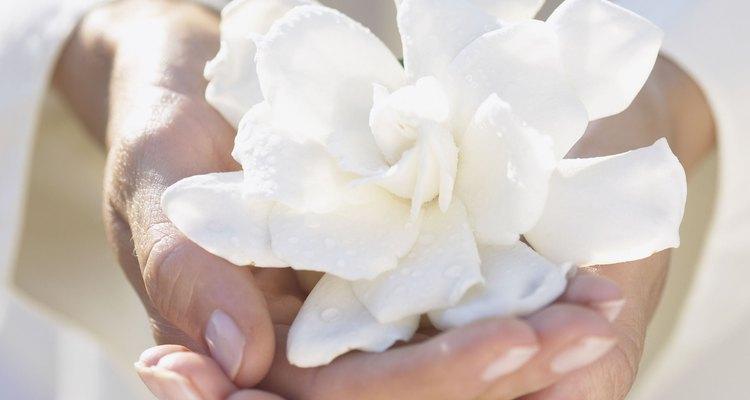 Recorta de nuevo las gardenias tanto en interiores como al aire libre después de la eliminación de las flores.