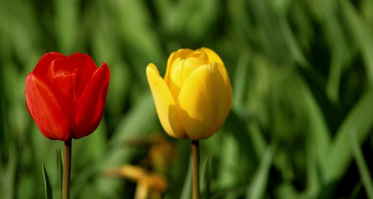 Los tulipanes vienen en una variedad de colores.