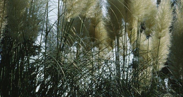 As árvores grandes e onduladas tornam os pampas facilmente reconhecíveis
