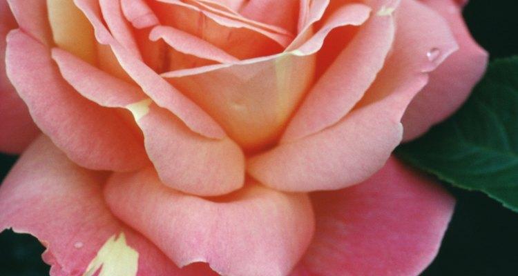 Evita plantar tus rosas muy cerca para prevenir la enfermedad de los chancros de tallo.