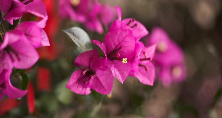 Conhecida por suas flores chamativas, a Bougainvillea possui espinhos tóxicos