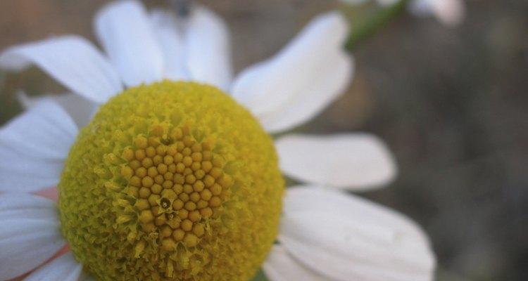 Flores de camomila são como pequenas margaridas, com um aroma limpo e relaxante
