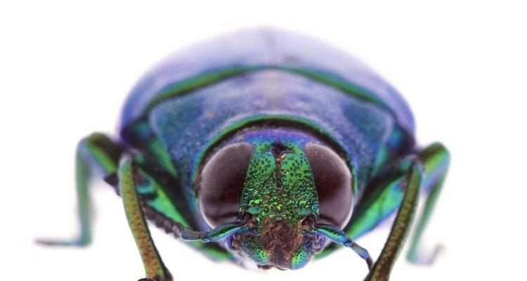 Um besouro é simétrico a partir da linha central de seu corpo