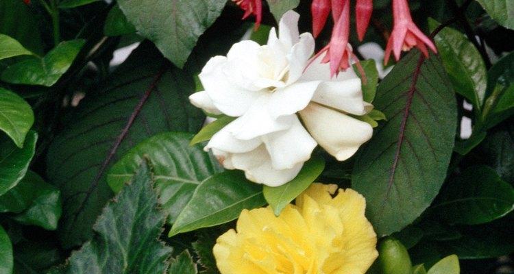 Cómo podar las begonias ala de ángel