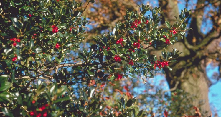 Holly have high nutritional needs and proper fertilisation will keep them healthy.