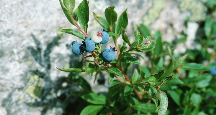 Los arándanos se pueden encontrar en muchas partes de los Estados Unidos durante el verano.