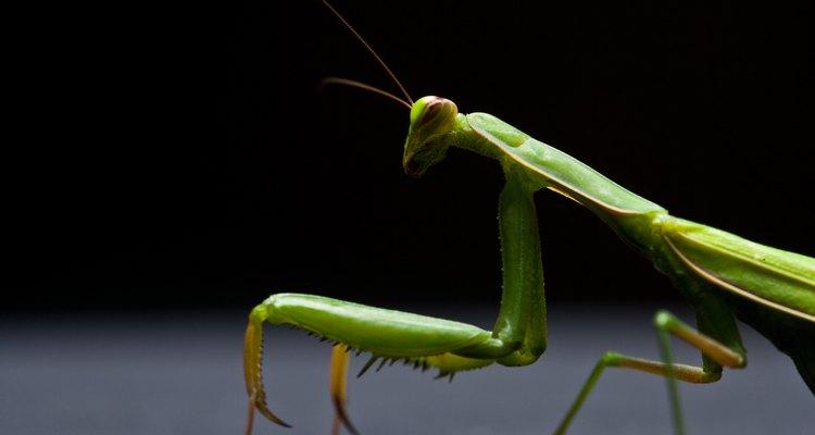 La mantis religiosa se parece a muchos alienígenas de ciencia ficción.
