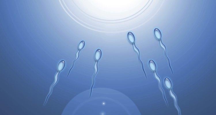 Una célula de espermatozoide humano contiene 23 cromosomas.