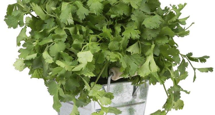 Las plantas de cilantro que se cultiva en macetas y jardines eventualmente producirán flores.