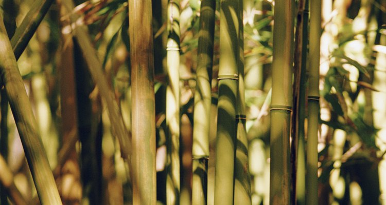 Podar tu bambú evitará que exceda tu patio.
