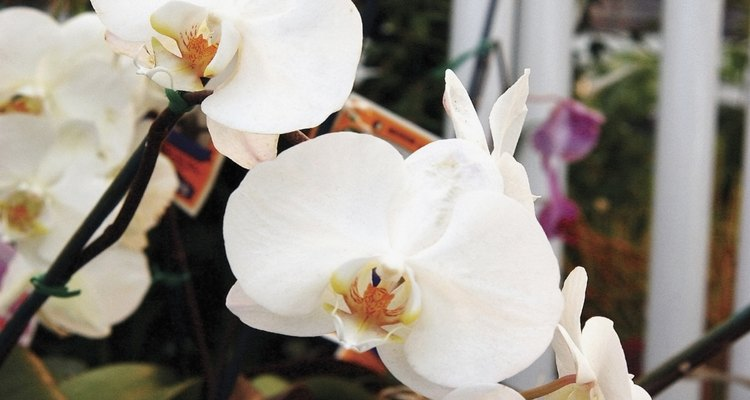 Una orquídea Phalaenopsis puede florecer durante varios meses.