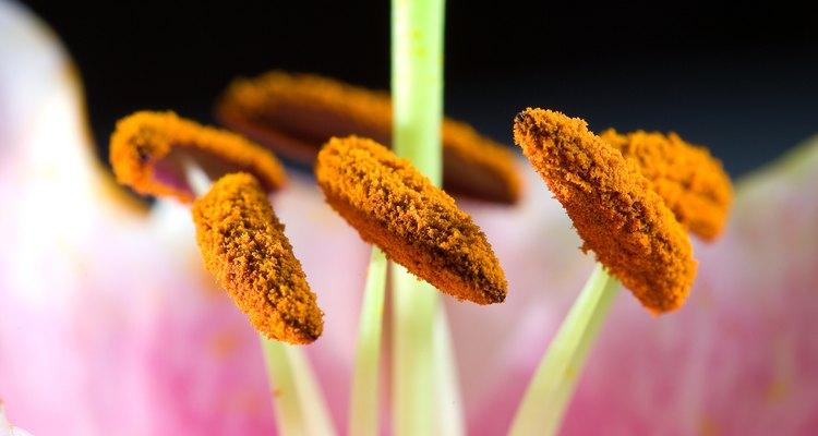 Un insecto que camine hacia el néctar fácilmente rozará sus antenas contra el polen.