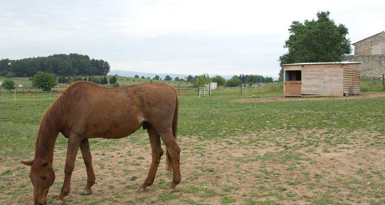 O prepúcio de alguns cavalos machos é facilmente visto de longe
