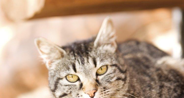 Partículas pretas encontradas no pelo do gato são geralmente sinais de pulgas