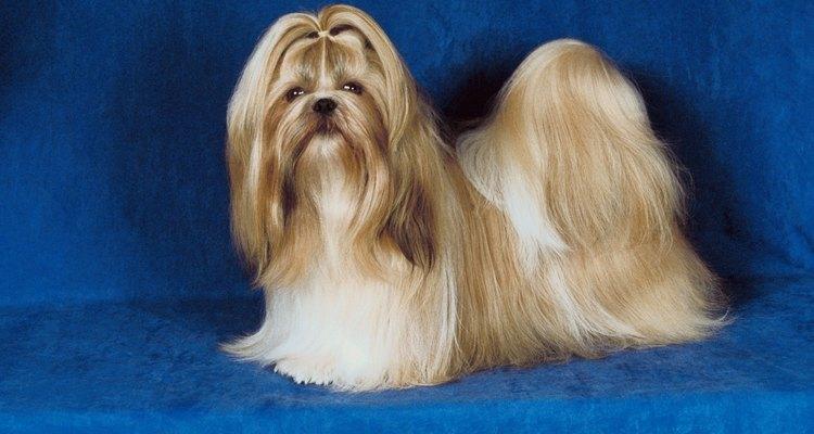 """Shih tzu significa """"leão"""" em chinês, referindo-se à semelhança do pequeno cachorro ao rei da selva"""