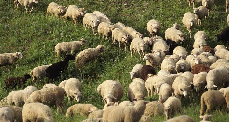 La lana viene de las ovejas.