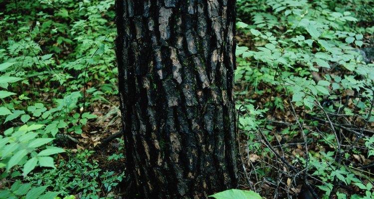 Muchos parásitos pueden matar a un árbol de roble.