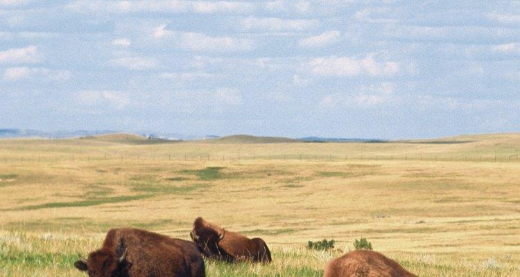 Os detritos de grandes herbívoros ajudam a manter a integridade do solo