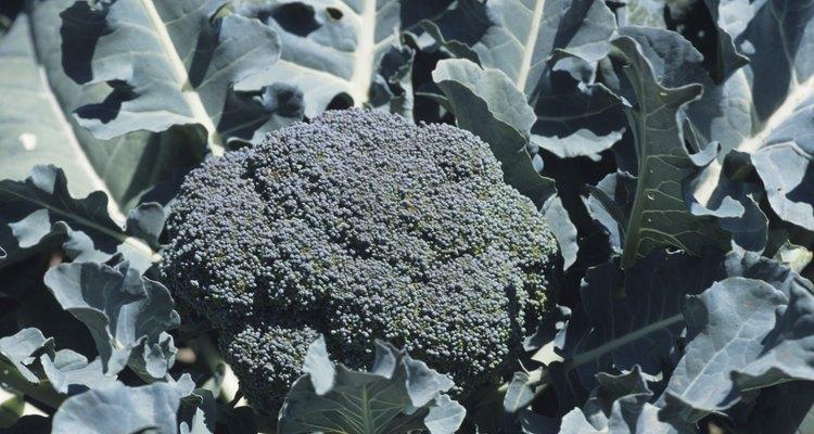 Una cabeza de brócoli comprende miles de capullos de flores inmaduros.