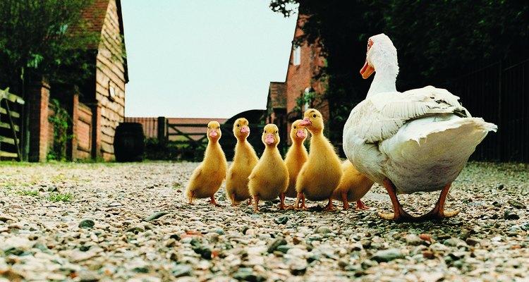A criação de marrecos a partir dos ovos ajuda os animais a se tornarem mansos e confortáveis em torno dos seres humanos