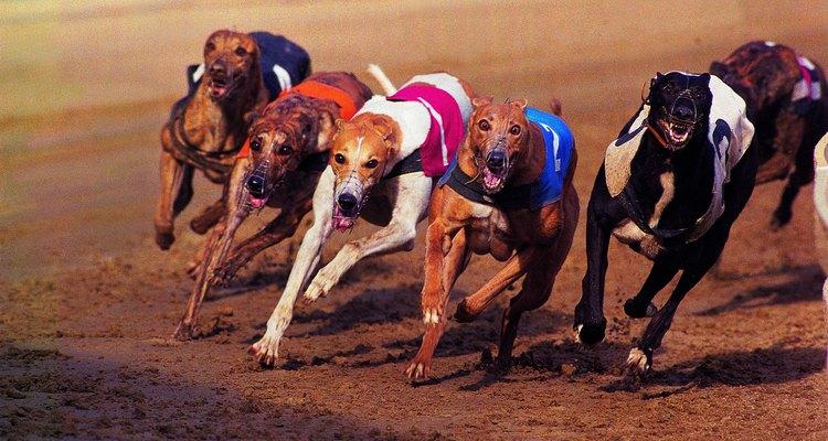Exposure to diseases is common among racing greyhounds.