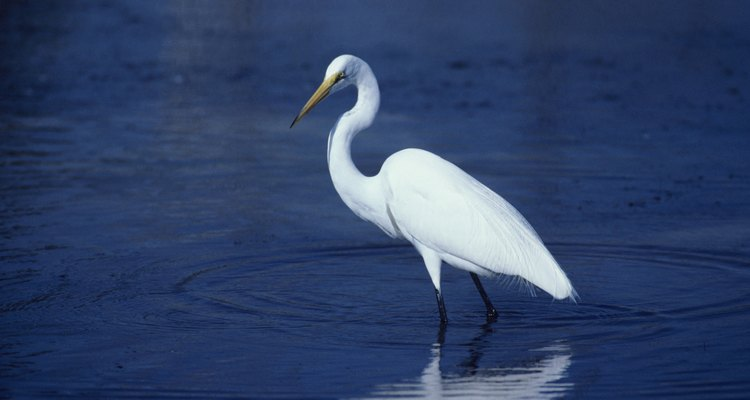 Great egret, North America