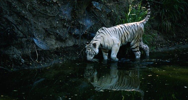 Todos los tigres blancos con vida en la actualidad descienden de un tigre blanco en cautiverio en 1951 llamado Mohan.