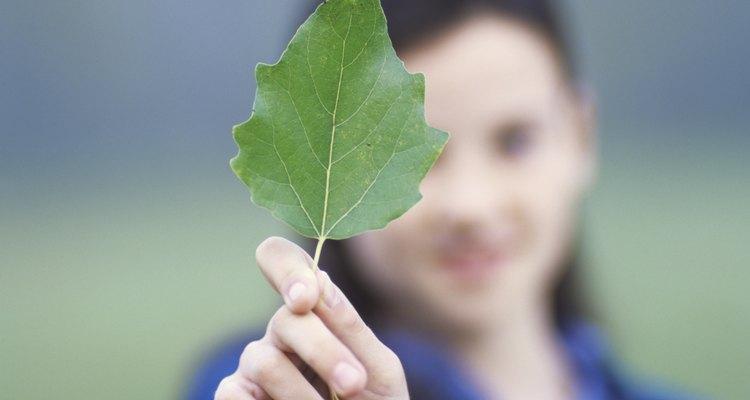 Las hojas de tilo, de color verde intenso, forman una copa cuya sombra es bienvenida.