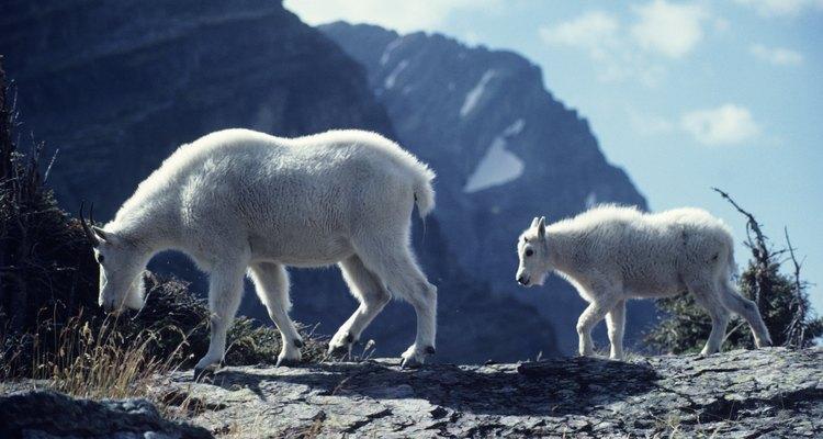 Cabras com 3 a 7 dias de idade se recuperam melhor do que adultos da descorna