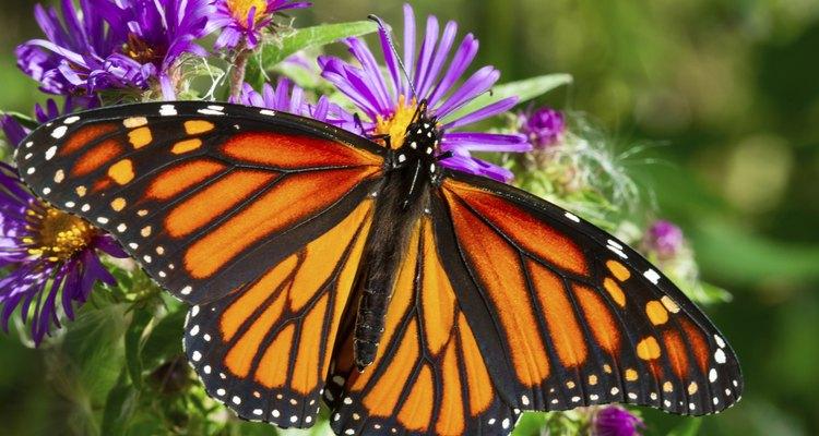 A borboleta monarca abre suas asas sobre uma flor roxa
