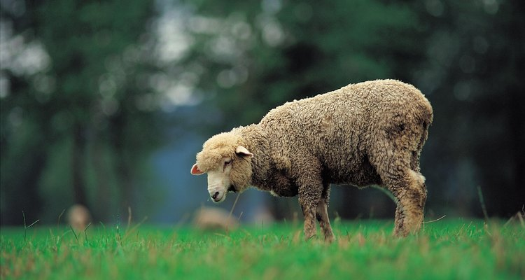 Bloat is a potentially lethal medical condition in sheep that can occur very suddenly.
