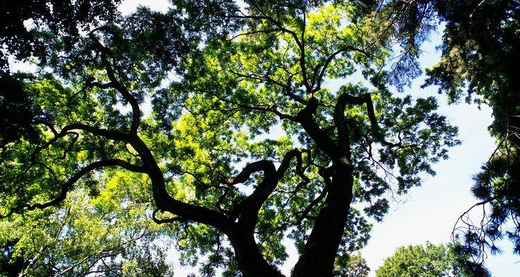 Pinheiros possuem madeira macia