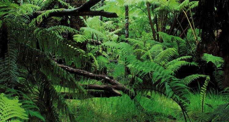 Durante los primeros años la Albizia necesita riego abundante.