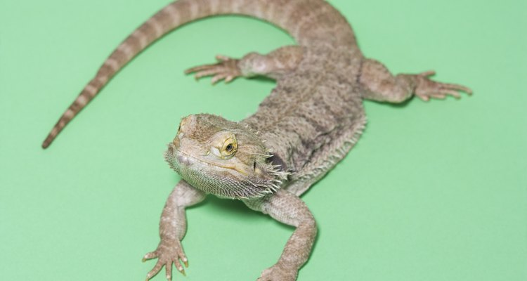 Bearded dragons can grow up to 24 inches in length.