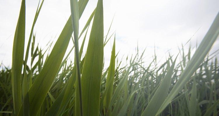 A grama pode ser plantada em um terrário velho com poucos materiais.