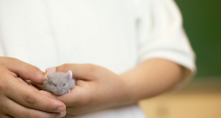 A caspa dos hamsters pode afetar a asma