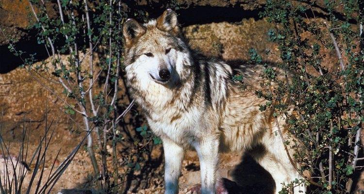 En 1970, el lobo gris mexicano, la subespecie de lobo gris en mayor peligro de extinción, estaba prácticamente extinta en el suroeste.