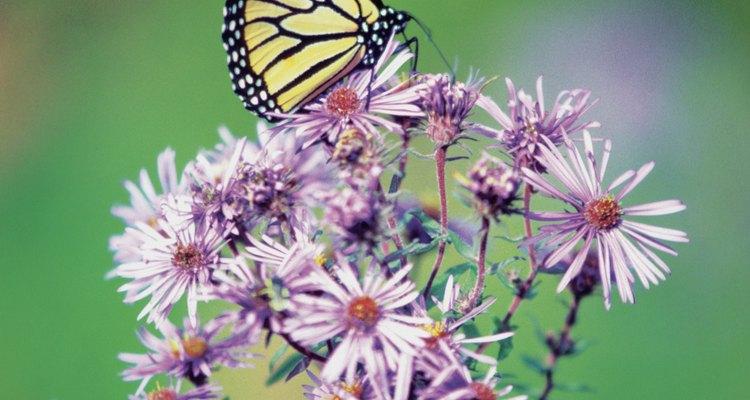 Las flores silvestres nativas atraen a las mariposas a los jardines cercanos a tu casa.