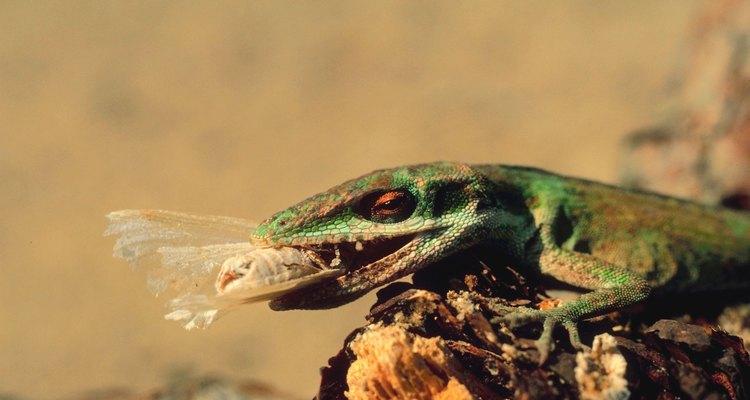Los anolis por lo general viven en los árboles. pero también los puedes encontrar asoleándose en techos o banquetas.