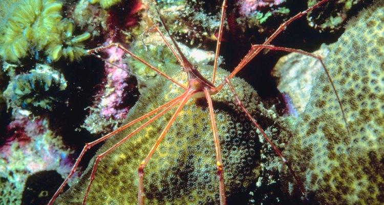 El tracto digestivo de la araña de mar se extiende en las piernas.