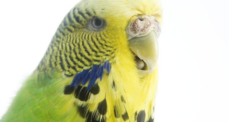 Os periquitos são pássaros coloridos que podem ser domesticados