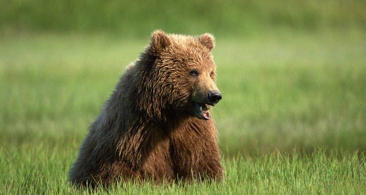Los osos negros de Azusa Canyon, a veces, pueden tener un pelaje marrón.