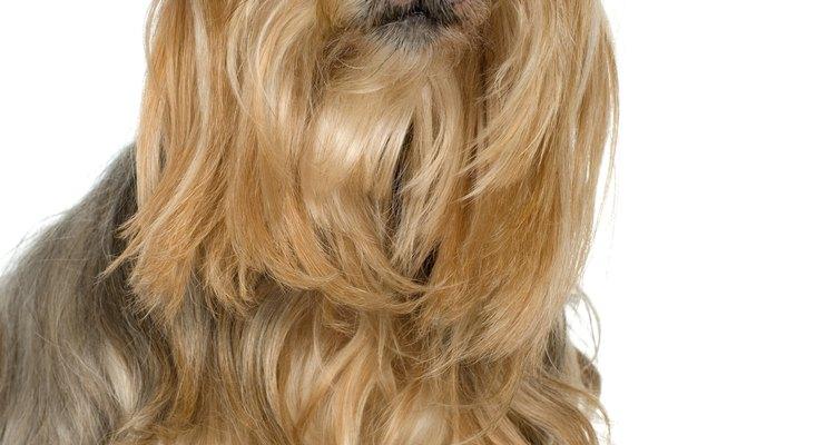 Um Yorkshire terrier com o pelo aparado ao redor dos olhos
