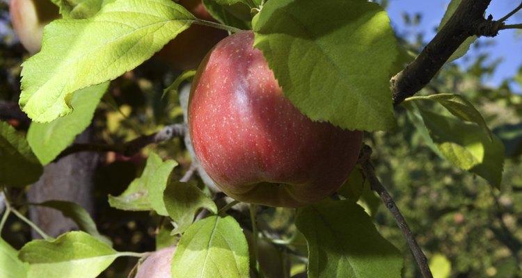 Cada manzana en un árbol necesita la energía de cincuenta hojas para ayudarla a crecer.
