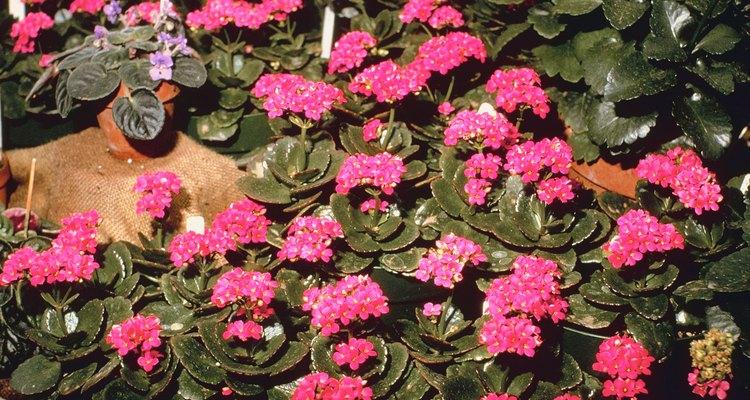 Los kalanchoes son miembros de la familia uva de gato y crecen bien en interiores.