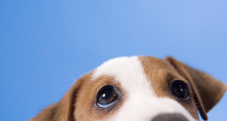 Saiba por que os cachorros arrotam depois de comer