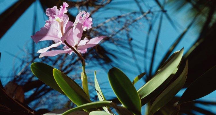 As orquídeas crescem extremamente bem quando plantadas no esterco de cavalo