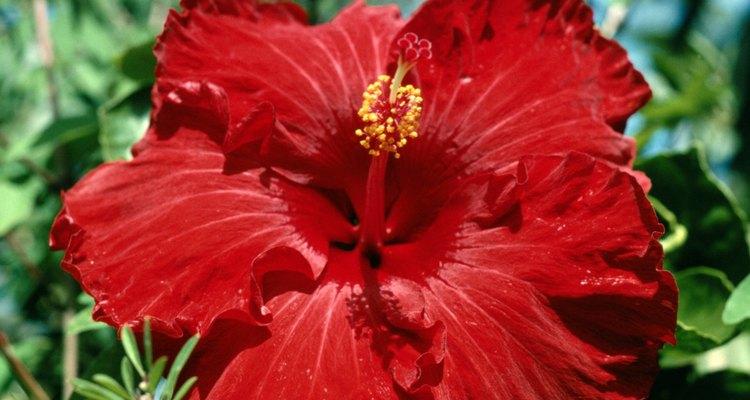 O hibisco possui flores grandes e coloridas