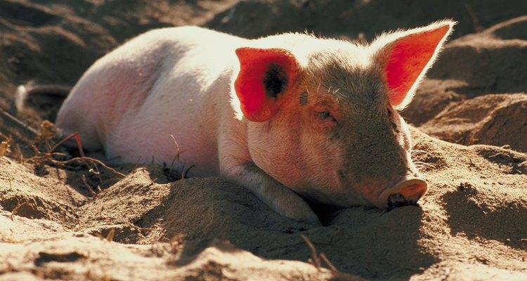 Los cerdos se han usado mucho tiempo por los humanos como una fuente de carne.