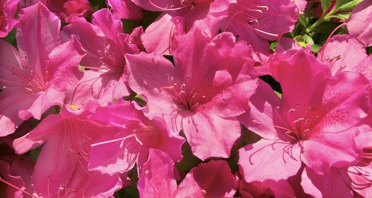 A maioria das azaleias floresce na primavera